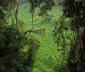 Mountain gorilla habitat, Parc National des Volcans, Rwanda.