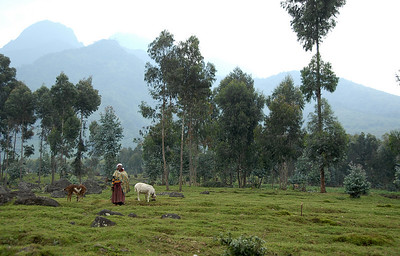 Farm adjacent to Parc National des Volcans, and the Virunga Mountains, Rwanda.