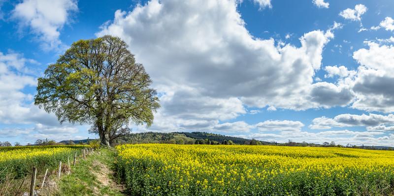 Rapeseed flower field in Scotland.