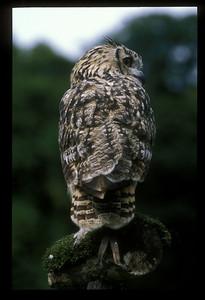 Owl, Scotland.