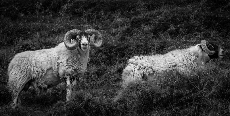 Sheep in Scotland.
