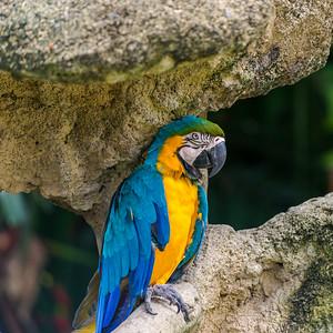 Singapore Macaw 2