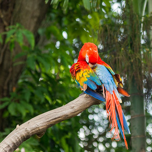 Singapore Macaw