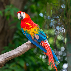 Singapore Macaw 3