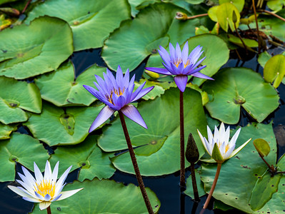Singapore Water Lily