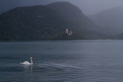 Swan in the lake of Bled, Slovenia