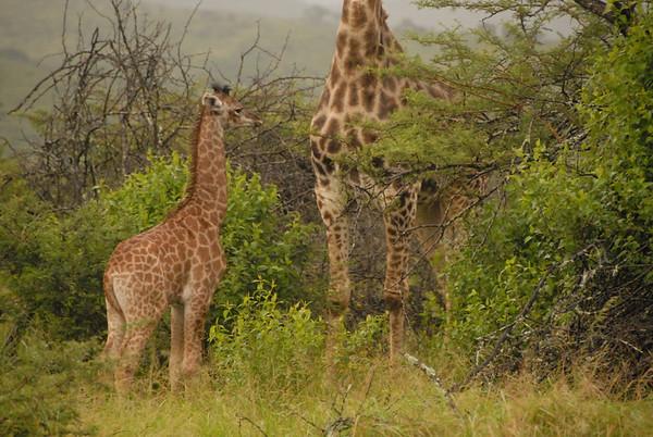 Baby giraffe, Thula Thula Royal Zulu Game Reserve, Kwa-Zulu Natal, South Africa.