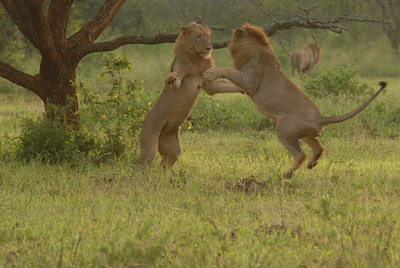 Lions at play in early morning, Mkuze Falls private game reserve, Kwa-Zulu Natal, South Africa.