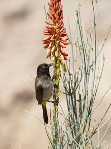 African Red-eyed Bulbul (Black-fronted Bulbul)