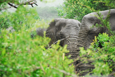 Elephant, Kaw-Zulu Natal, South Africa.