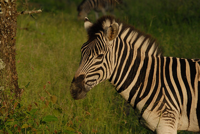 Zebra, Thula Thula Royal Game Reserve, Kwa-Zulu Natal, South Africa.