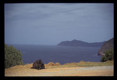 Apes near the Cape of Good Hope, South Africa.