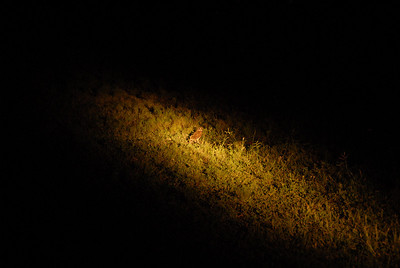 Owl, Mkuze Falls private game reserve, Kwa-Zulu Natal, South Africa.