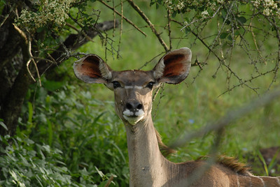 Bushbuck, Mkuze Falls private game reserve, Kwa-Zulu Natal, South Africa.
