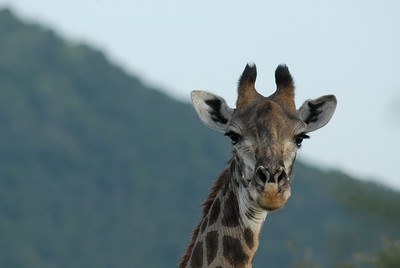 Giraffe, Mkuze Falls private game reserve, Kwa-Zulu Natal, South Africa.