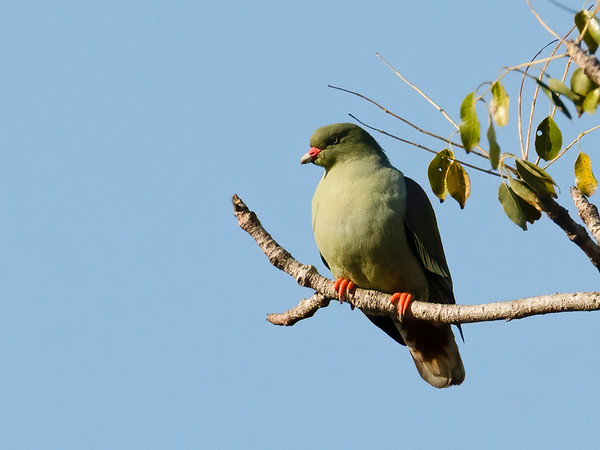African Green Pigeon