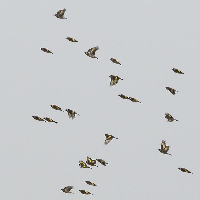 Europan goldfinch