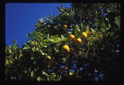 Lemons, Seville, Spain.