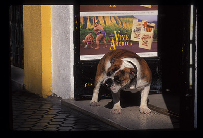 Bulldog in doorway, Seville, Spain.