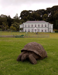 Jonathan the Seychelles tortoise, said to be the world's oldest known vertebrate, and Plantation House, the Governor's residence, St. Helena Island.