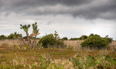 Cactus, St. Helena island, South Atlantic Ocean.