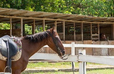 St. Lucia Horse