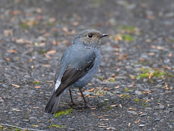 Plumbeous Water-redstart