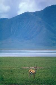 Impala, Ngorongoro Crater, Tanzania.