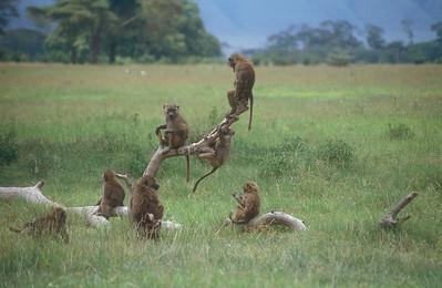 Monkeys, Ngorongoro Crater, Tanzania.