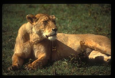 Lioness, Ngorongoro Crater, Tanzania.
