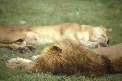 Sleeping lions, Ngorongoro Crater, Tanzania.