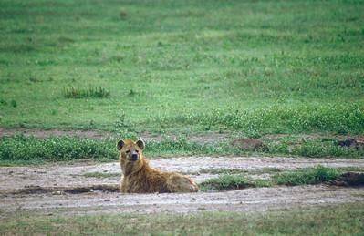 Hyena, Ngorongoro Crater, Tanzania.