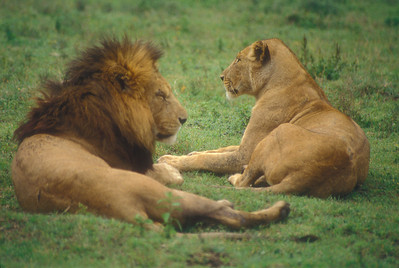 Lions, Ngorongoro Crater, Tanzania.