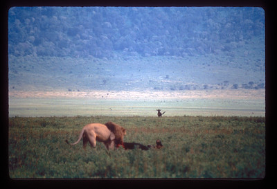 Wildebeest kill, Ngorongoro, Tanzania.