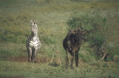 Zebra and wildebeest, Ngorongoro Crater, Tanzania.