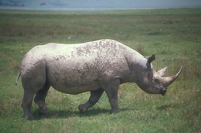 Rhinoceros, Ngorongoro Crater, Tanzania.