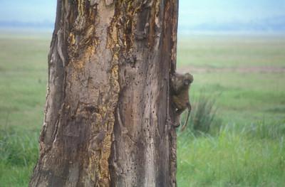 Monkey, Ngorongoro Crater, Tanzania.