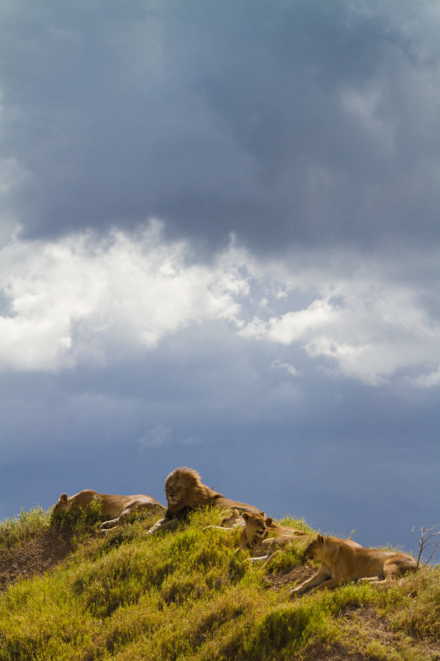 African Lions (Panthera leo) On A Hill, Tazania