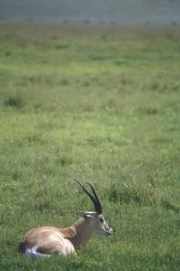 Antelope, Ngorongoro Crater, Tanzania.