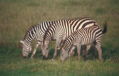 Zebras, Ngorongoro Crater, Tanzania.