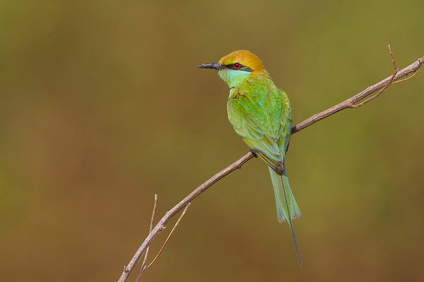 Asian Green Bee-eater