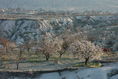 Landscape with blooming apricot trees, Cappadocia, Turkey.
