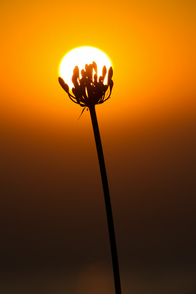 Flower Silhouette Cupping The Sun