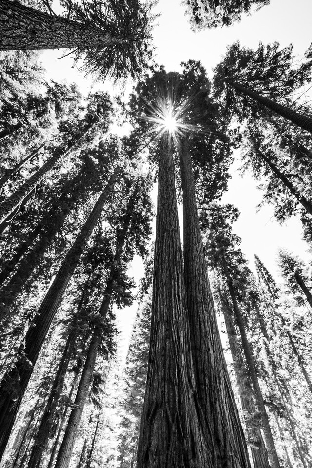 Twin Giant Sequoias (Sequoiadendron giganteum) Rise Over 200' Above The Forest Floor, Sequoia National Park, California, USA