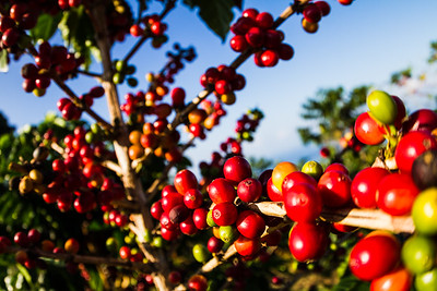 Coffee Cherries Sit Ripe For Picking In Hawaii, USA