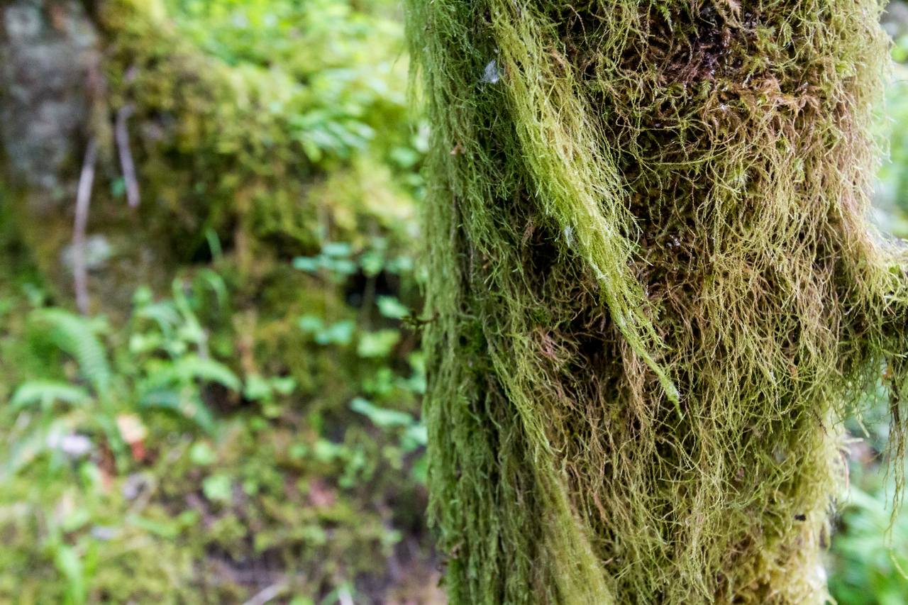 Close-up of moss on tree trunk - USA - Oregon