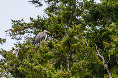 Heron perching on tree - USA - Washington - Bellingham