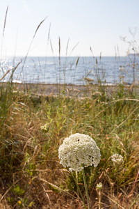 View of sea with flower in front - Bellingham - Washington - USA