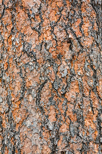 Ponderosa Pine (Pinus ponderosa) Bark Detail, Devils Tower National Monument, Wyoming, USA, North America