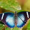 Large Tiger Blue Butterly